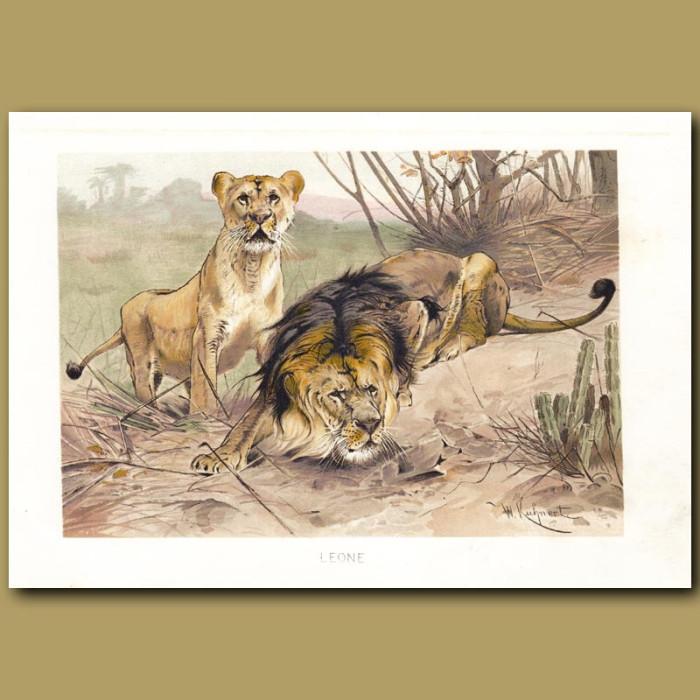 Antique print. Lions