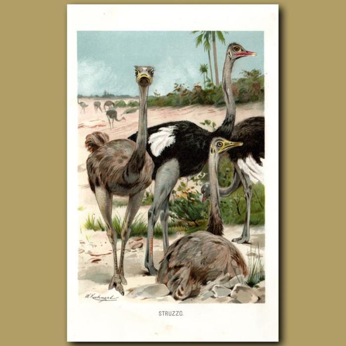 Antique print. Ostriches