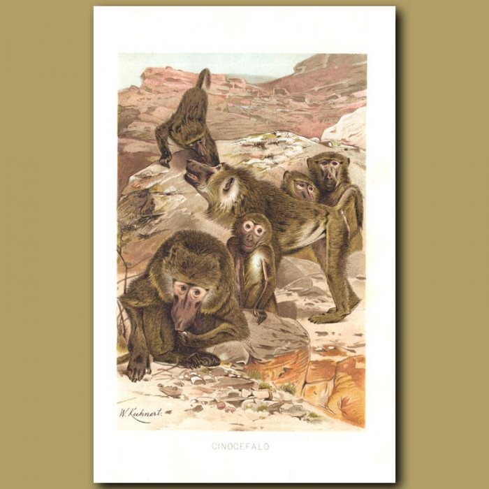 Antique print. Baboons