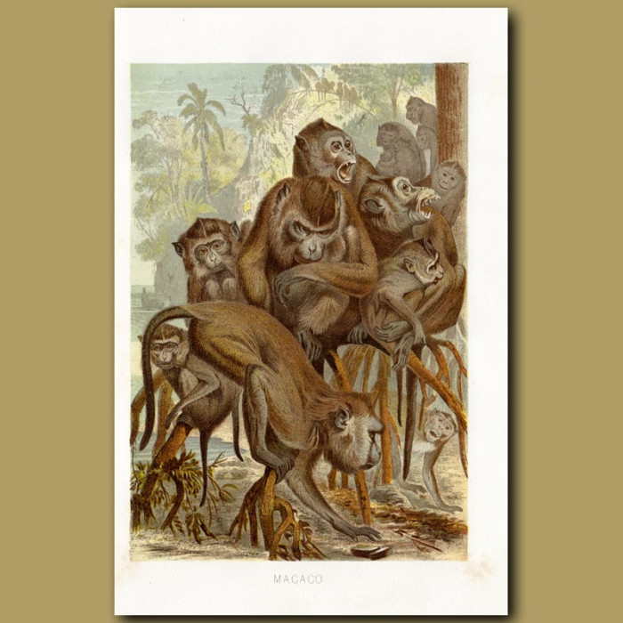 Antique print. Macaque Monkeys