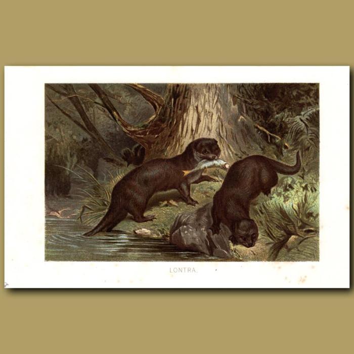 Antique print. Otters