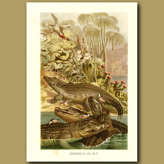 Antique print. Nile Crocodile