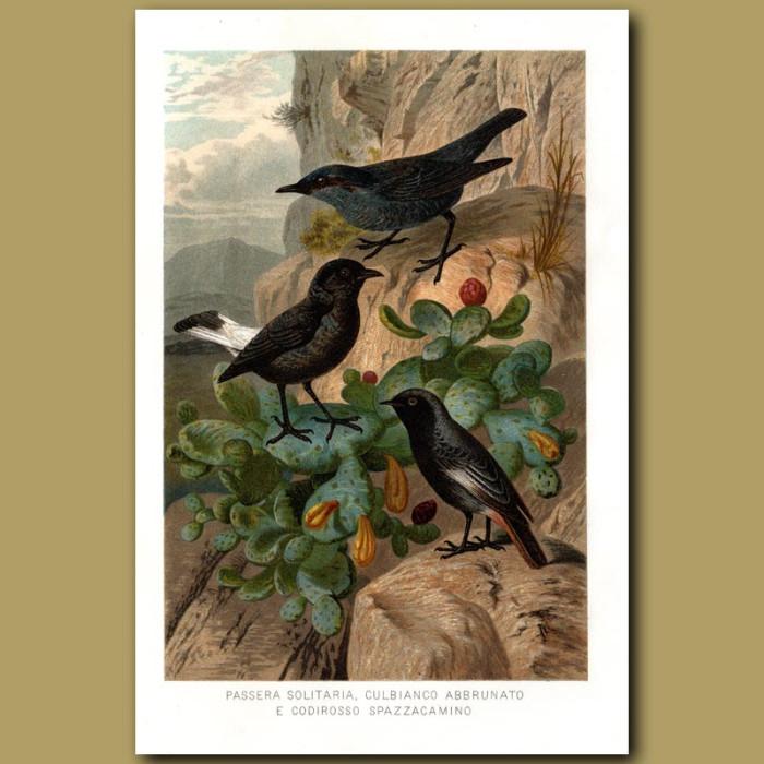 Antique print. Blue Rock Thrush, Wheatear and Redstart