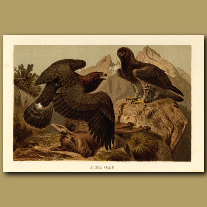 Antique print. Royal Eagle