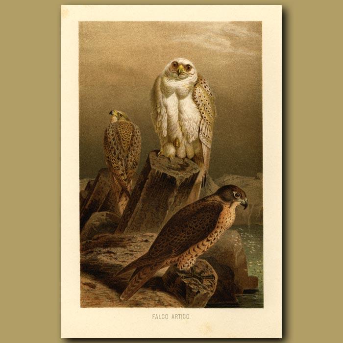 Antique print. Arctic Falcon