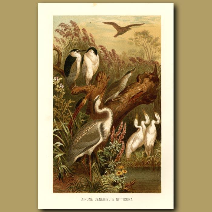 Antique print. Egrets And Cranes