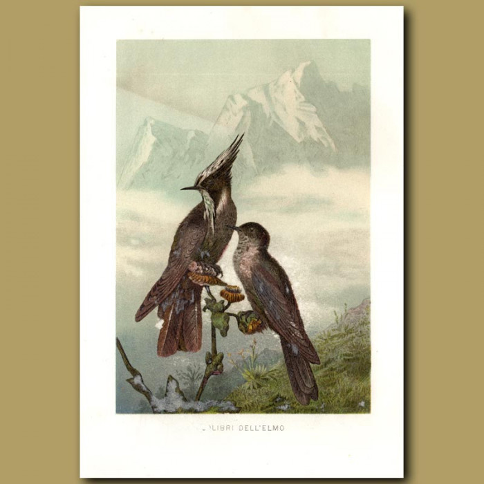 Antique print. Jays in the Mountains