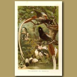 Pygmy Bird Of Paradise