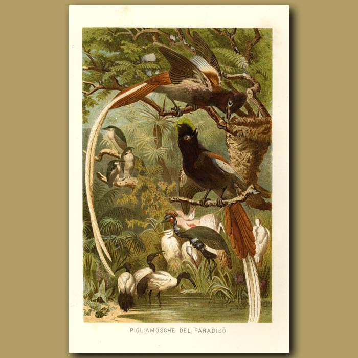 Antique print. Pygmy Bird Of Paradise