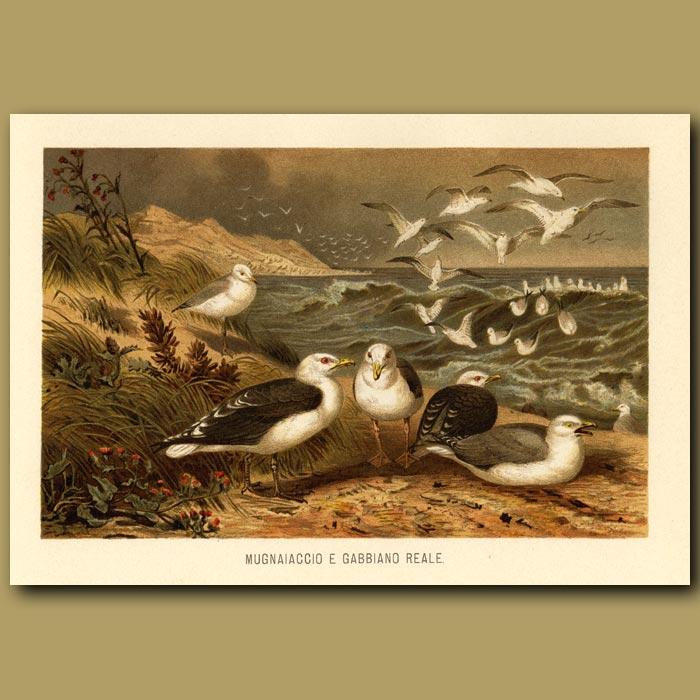 Antique print. Seagulls