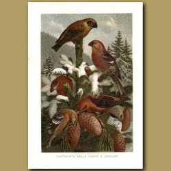 Bullfinches And Crossbeaks Of The Pine Forests