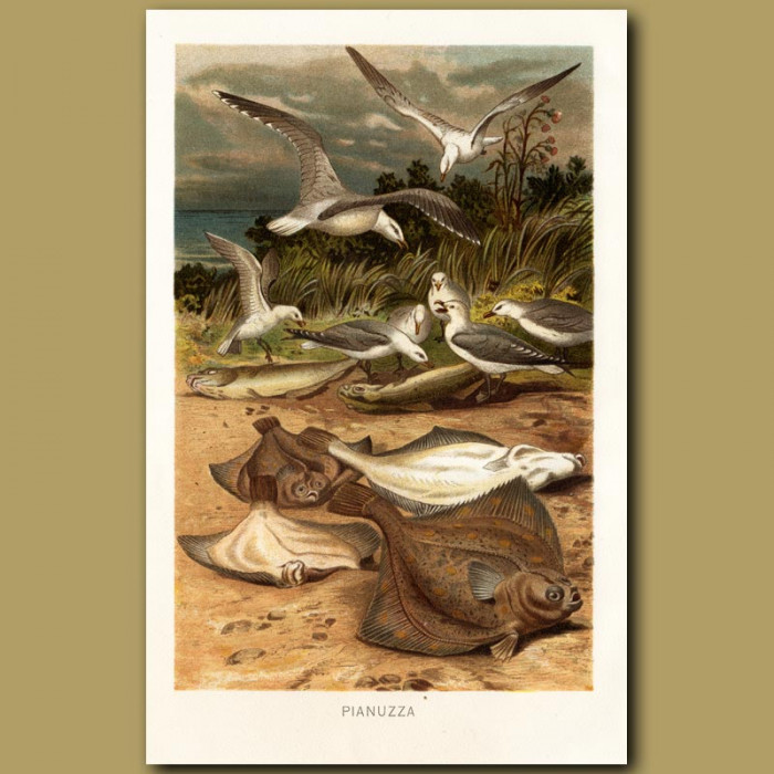 Antique print. Seabirds and Flounders