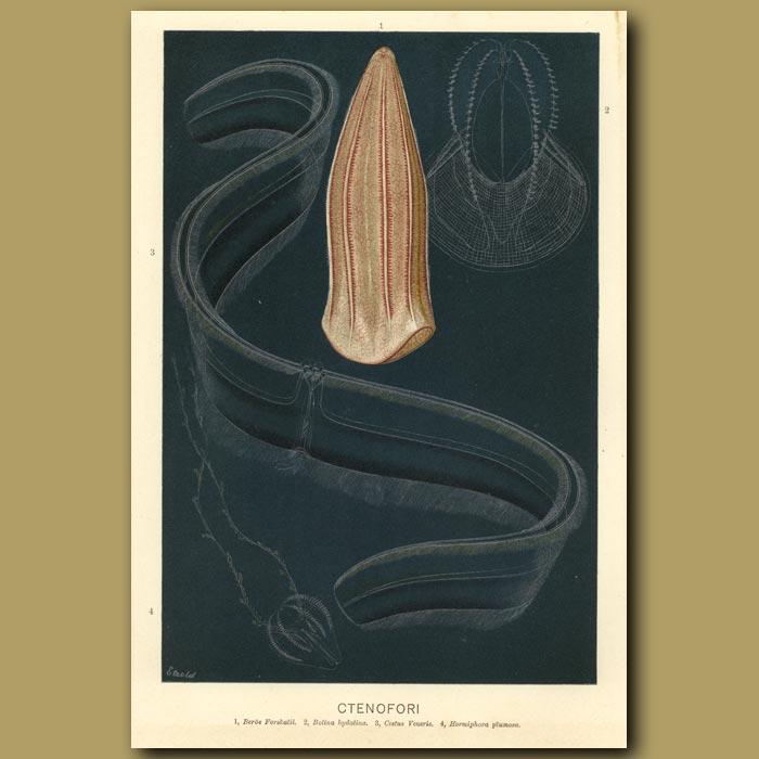 Antique print. Comb Jelly