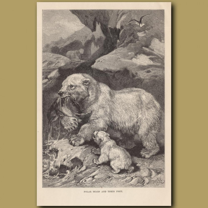 Antique print: Polar Bears and their prey