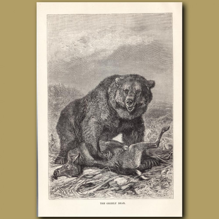 Antique print: The Grizzly Bear