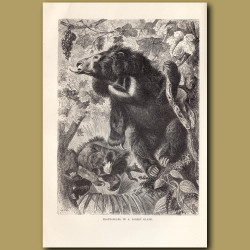 Sloth-bears in a forest glade