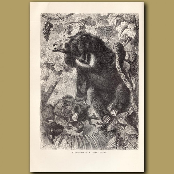 Antique print: Sloth-bears in a forest glade