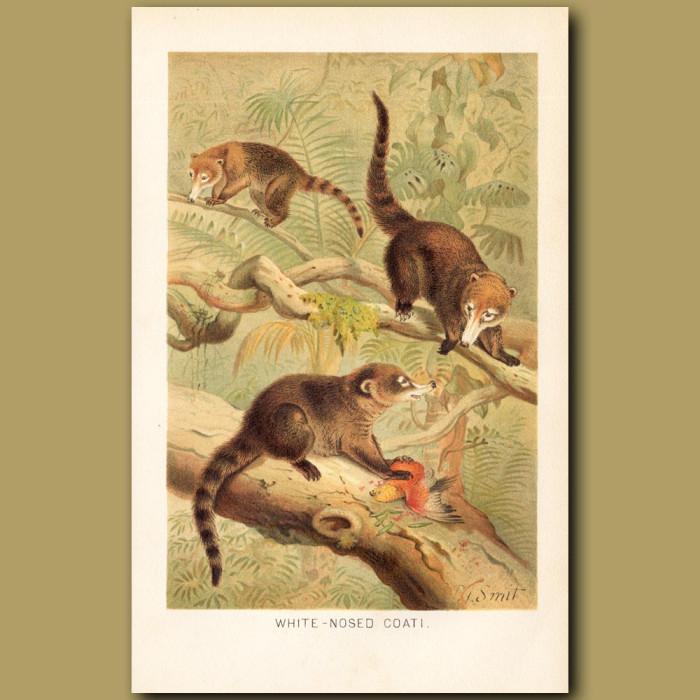 Antique print: White-nosed Coati