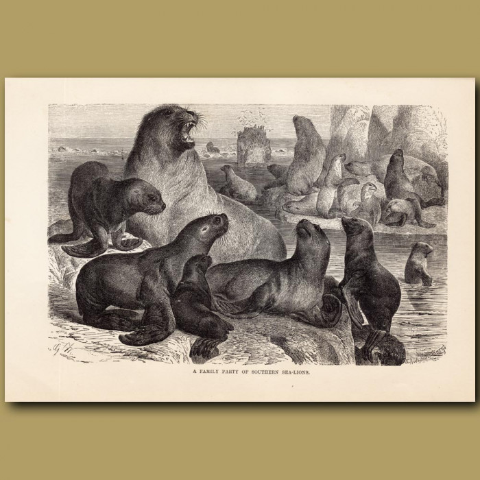 Antique print: A family party of southern sea-lions
