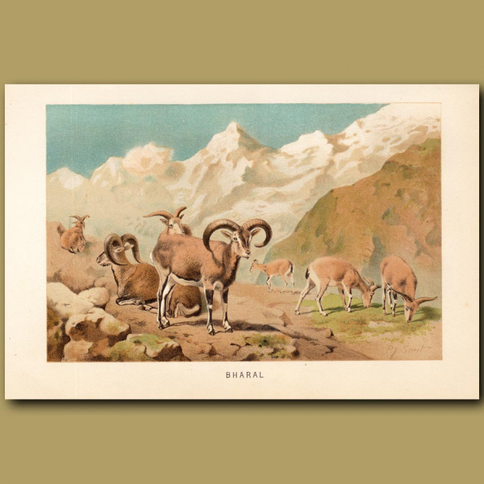 Antique print: Bharal, Blue sheep of Tibet