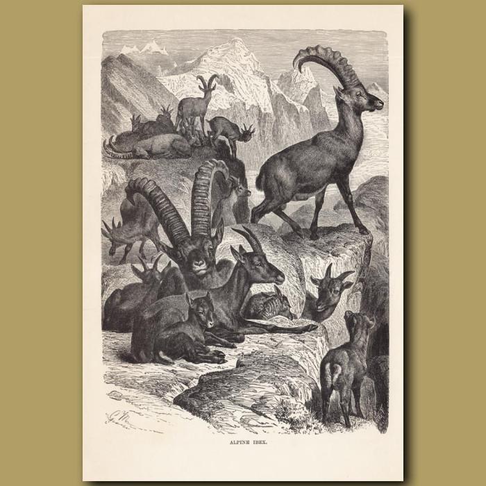 Antique print: Alpine Abex