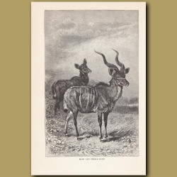 Male and female Kudu