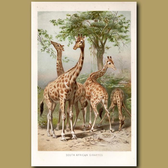 Antique print: South African Giraffes