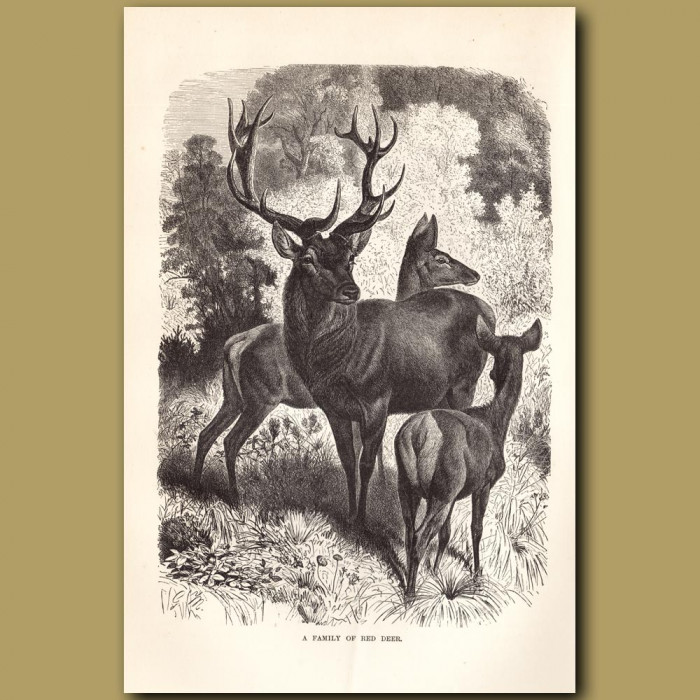 Antique print: A family of Red Deer