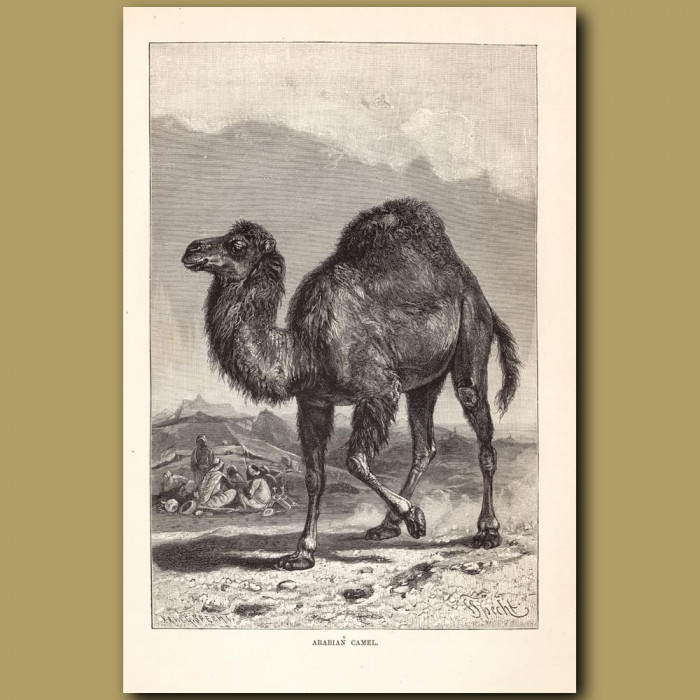 Antique print: Arabian Camel