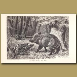 A family of European Wild Swine