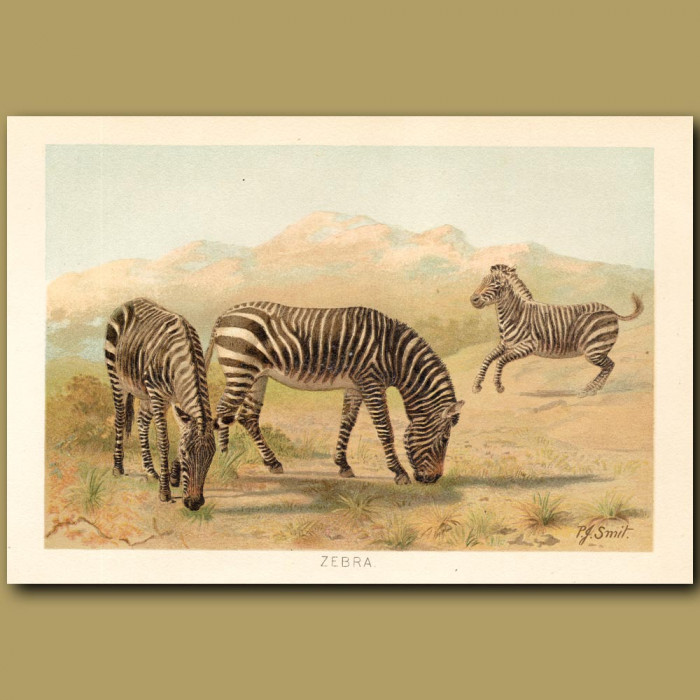 Antique print: Zebra