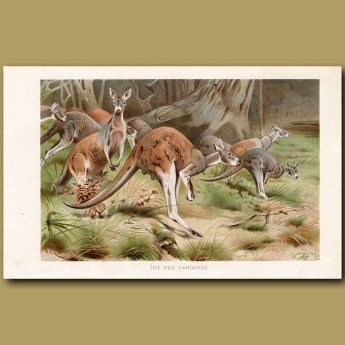 Antique print: The Red Kangaroo