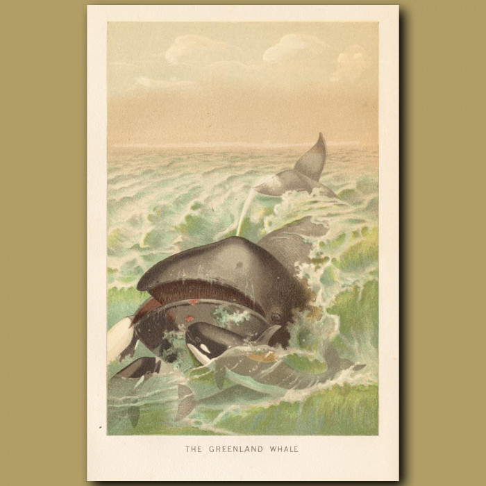 Antique print: The Greenland Whale