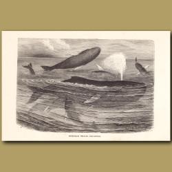 Humpback Whales disporting