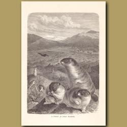 A colony of Bobas Marmots