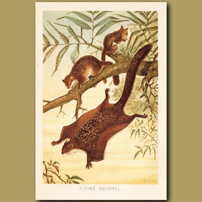Antique print: Flying Squirrel