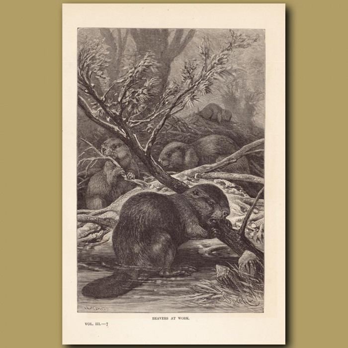Antique print: Beavers at work