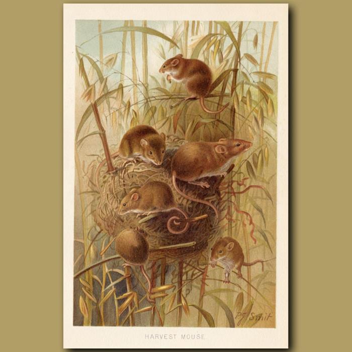 Antique print: Harvest Mouse