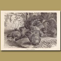 A herd of Capybara