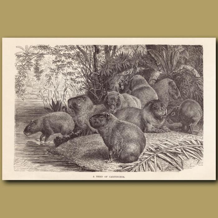 Antique print: A herd of Capybara