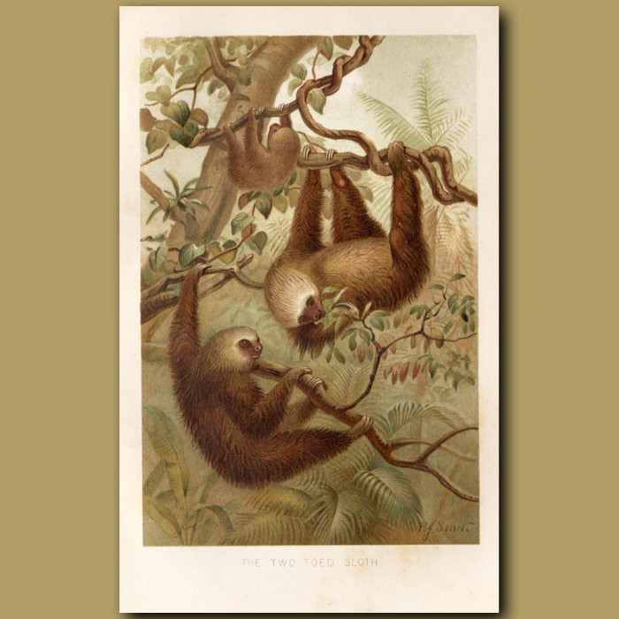 Antique print: The Two Toed Sloth