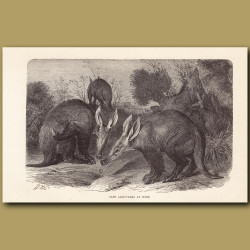 Cape Aardvarks at home