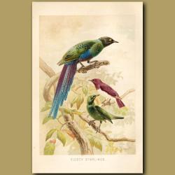 Glossy Starlings