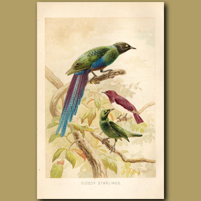Antique print: Glossy Starlings
