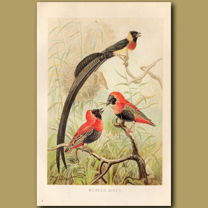 Antique print: Weaver Birds