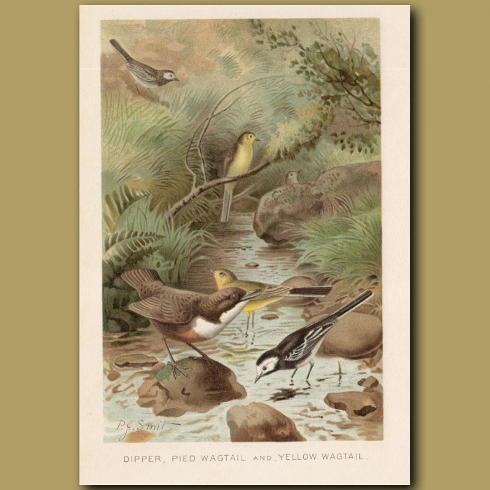 Antique print: Dipper, Pied Wagtail and Yellow Wagtail