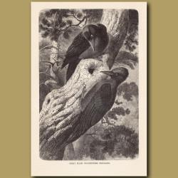 Great Black Woodpeckers exploring