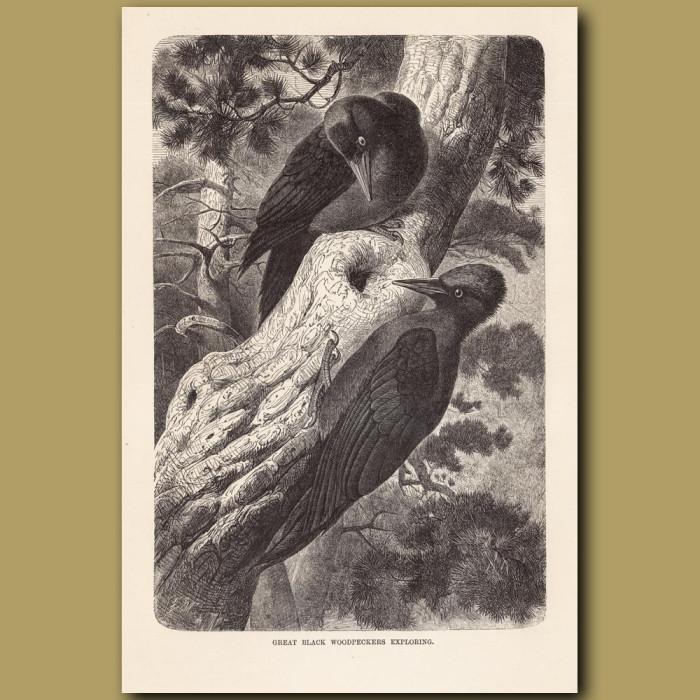 Antique print: Great Black Woodpeckers exploring