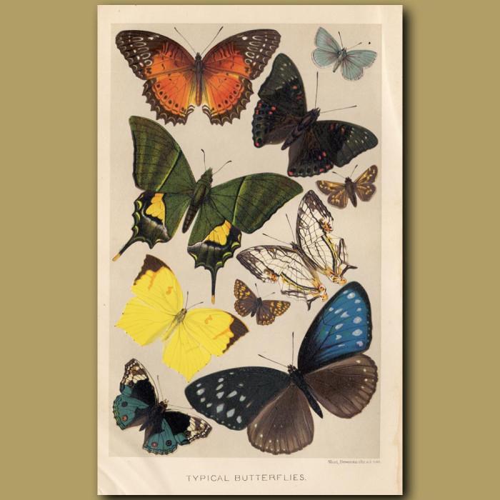 Antique print: Typical Butterflies