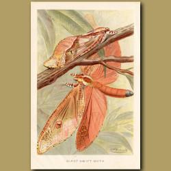 Giant Swift Moth